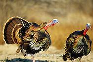 00845-04516 'Rio Grande' Wild Turkey (Meleagris Gallopavo) male tom gobbling  Starr Co.  TX