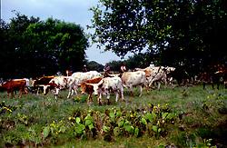 herd of longhorn cattle grazing in a field