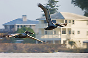 Brown pelicans, Pelecanus occidentalis, in flight off Florida coast in the Gulf of Mexico, Anna Maria Island, USA