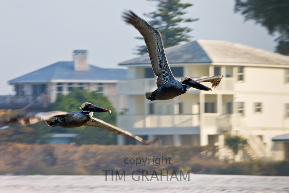 Brown pelicans, Pelecanus occidentalis, in flight off Florida coast in the Gulf of Mexico, Anna Maria Island, USA