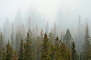 Trees in fog in the Bow Valley<br />