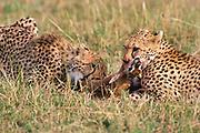 Cheetah, Acinonyx jabitus, Masai Mara, Kenya, Africa, pair on kill, feeding