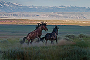 Pair of wild stallions fighting and biting in the pre-dawn hours in Wyoming's badlands.