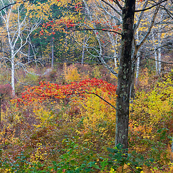 Fall colors in the forest at the Quabbin Reservoir in Ware, Massachusetts.