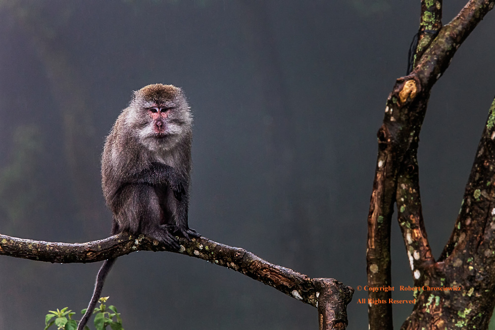 Out on a Limb: A monkey sits on the limb of a tree, awaiting the stoppage of rain, while returning the interest I have in him, near  Sembalun Bumbung  Lombok Indonesia.