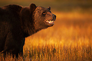 Eurasian brown bear, Ursus arctos, Kuikka, Kainuu, Finland, on the border with Russia