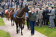 Thoroughbred racehorses paraded in the Parade Ring at Cheltenham Racecourse, Gloucestershire