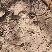 Jaguar tracks in the dried mud near the Rio Pixaim River, Pantanal, Brazil.